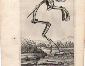 Esqueleto de rana