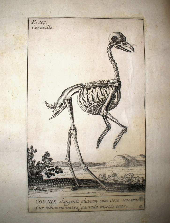 Crow's skeleton