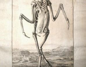 Esqueleto de pelícano