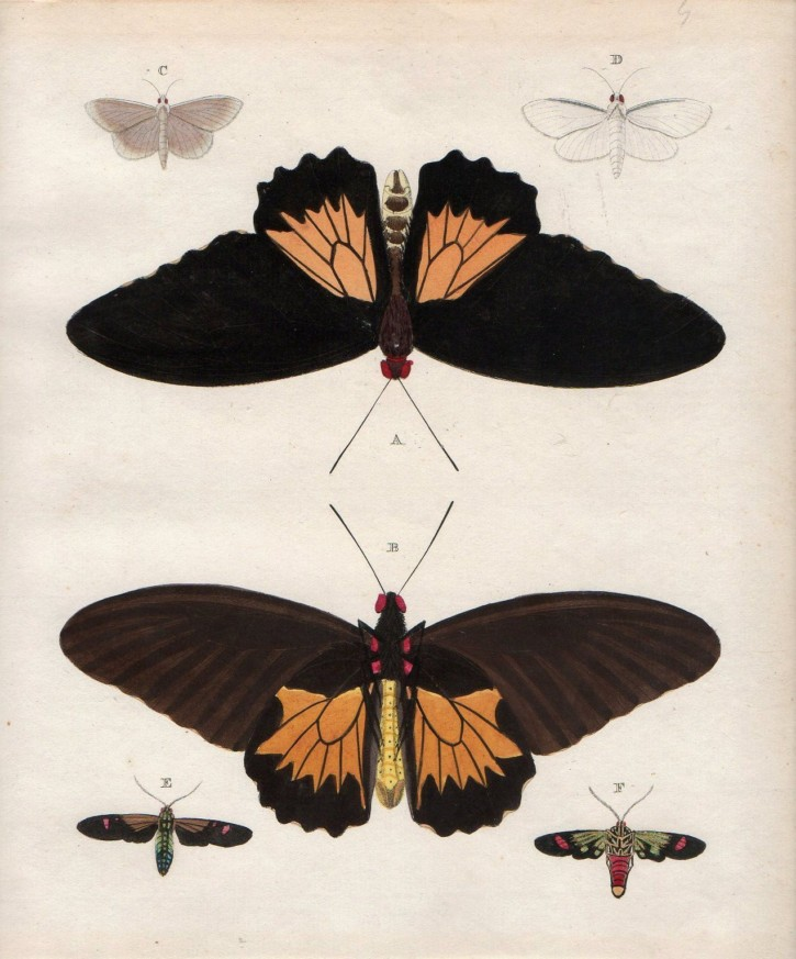 Couple of prints of butterflies