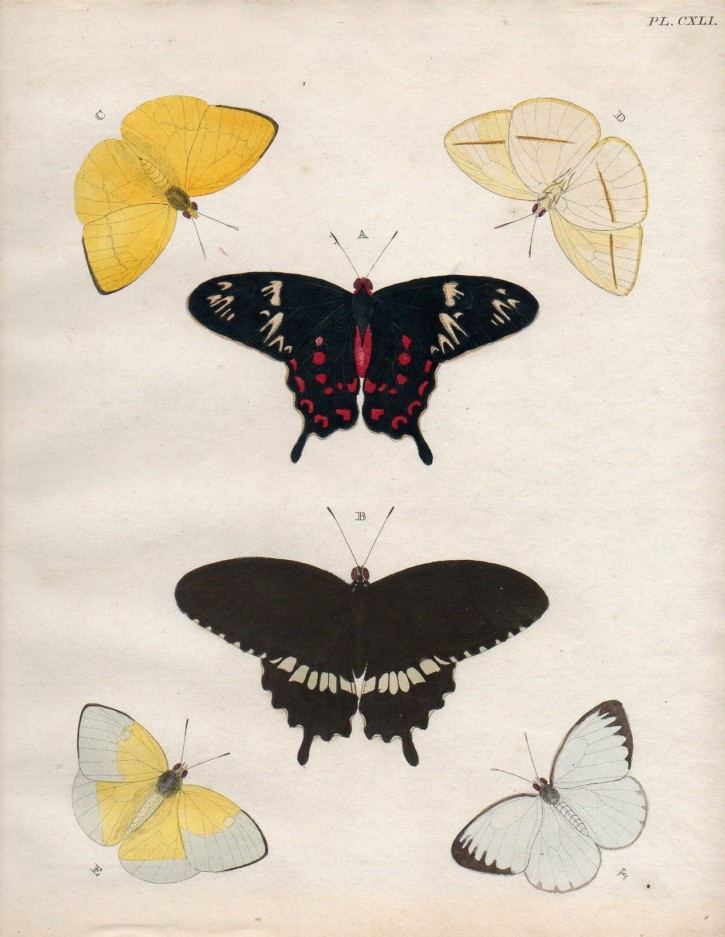 Couple of prints of butterflies (Anónimo) -  - [Animals, Not known, XVIII, Colored etching, Watermark wove paper]