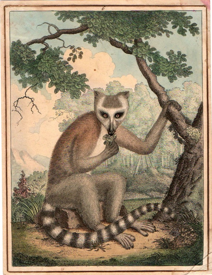 Lemur (Anónimo) -  - [Animals, Not known, XIX, Etching and coloured burin, Wove paper]